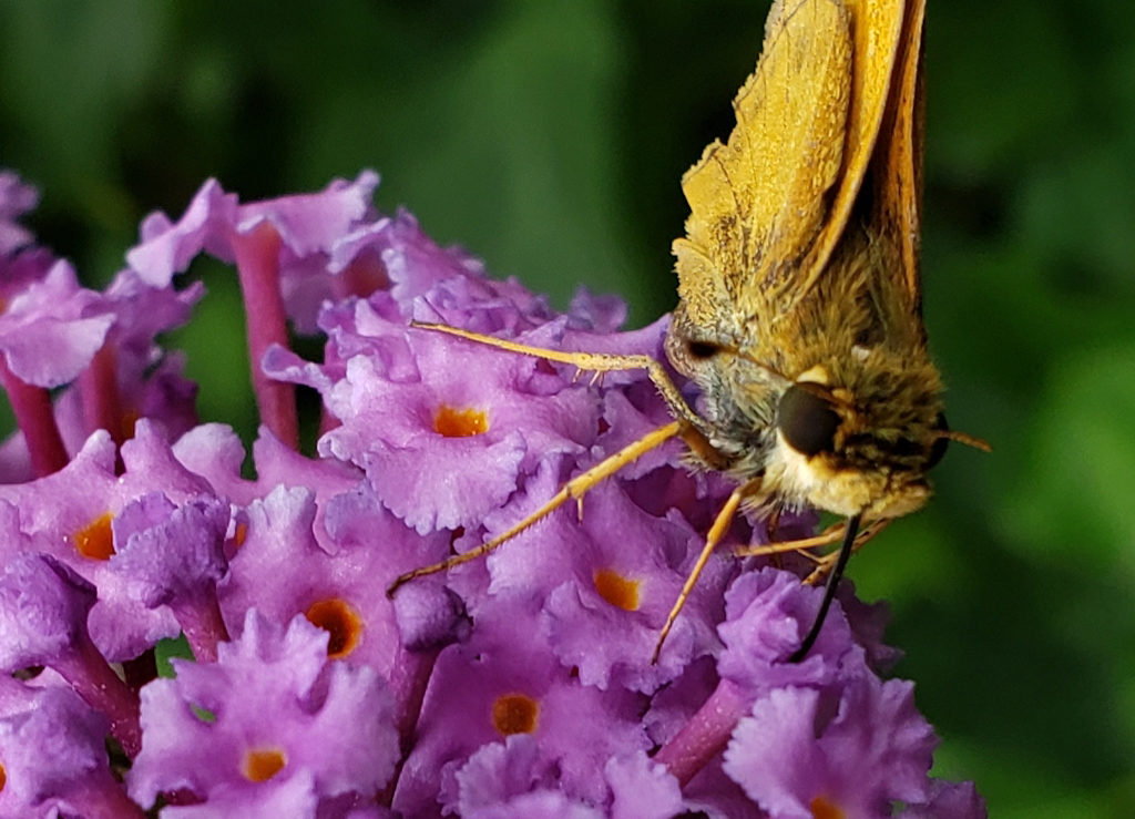 Sample Photos of Long Island Native Plants, Butterfly Bush