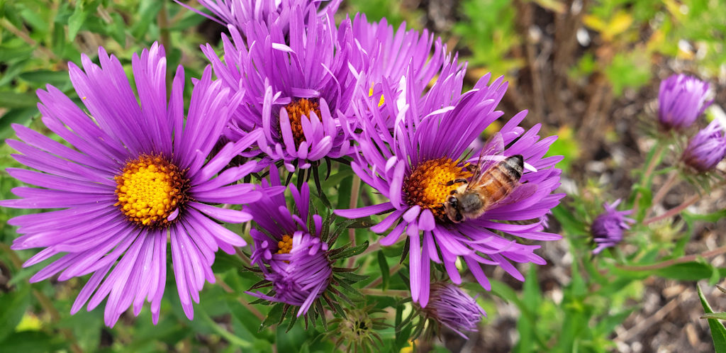 Sample Photos of Long Island Native Plants, New York Aster