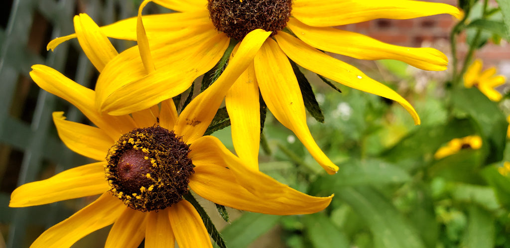 Sample Photos of Long Island Native Plants, Black Eyed Susan.  Photo credit Julia Todorov