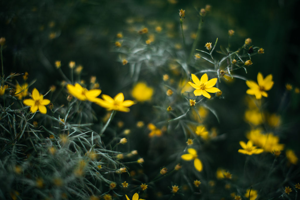 Sample Photos of Long Island Native Plants, Coreopsis.  Photo credit Jennifer Romonoyske