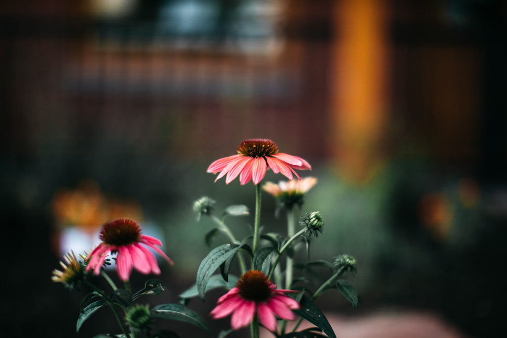 Sample Photos of Long Island Native Plants, Purple Coneflower.  Photo credit Jennifer Romonoyske