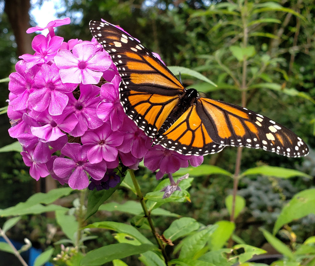 Sample Photos of Long Island Native Plants, Butterfly Weed