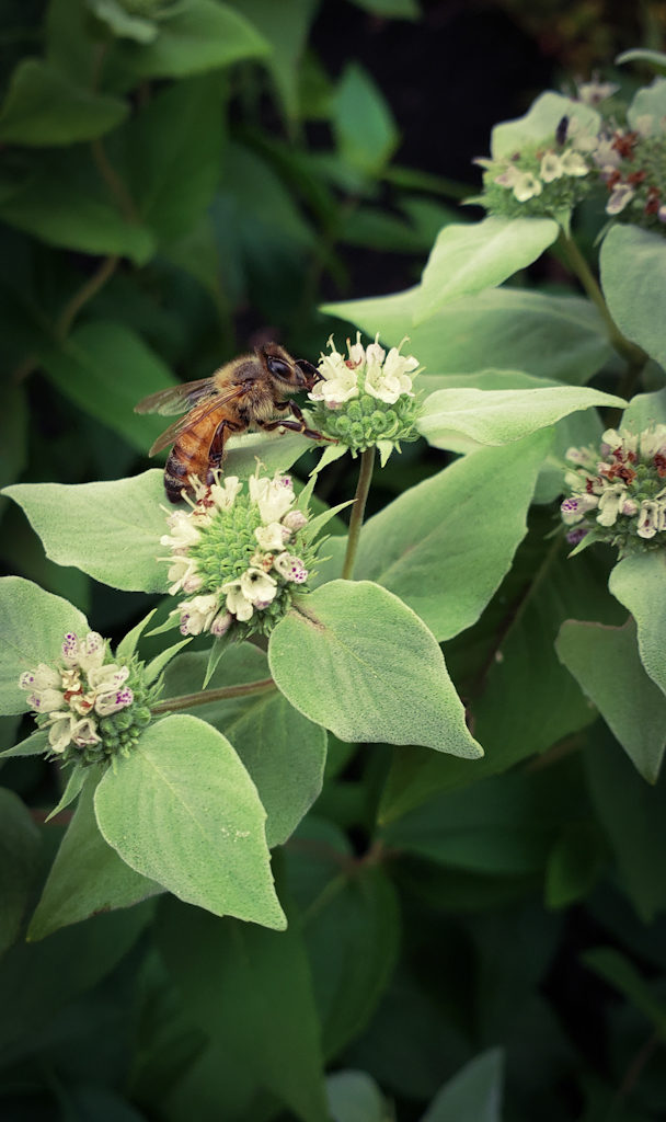 Sample Photos of Long Island Native Plants, Mountain Mint