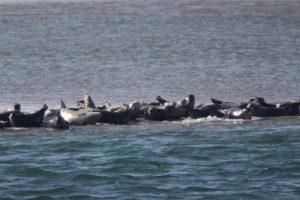 AMSEAS-SealsHauledOut