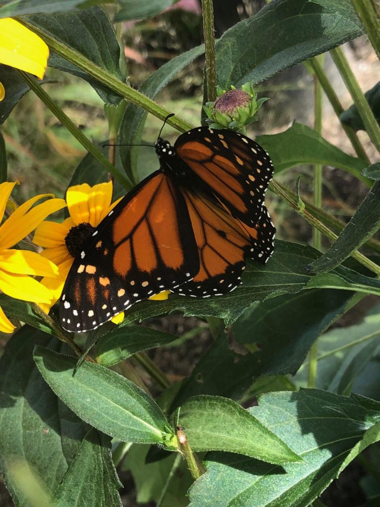 Monarch on Black Eyed Susan.