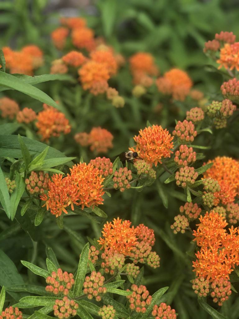 Honeybee on Butterfly Weed.