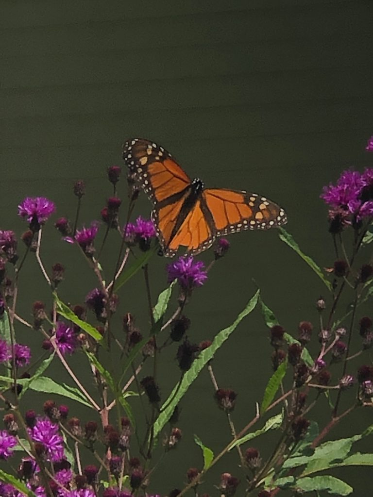 Monarch Butterfly on New York Ironweed.