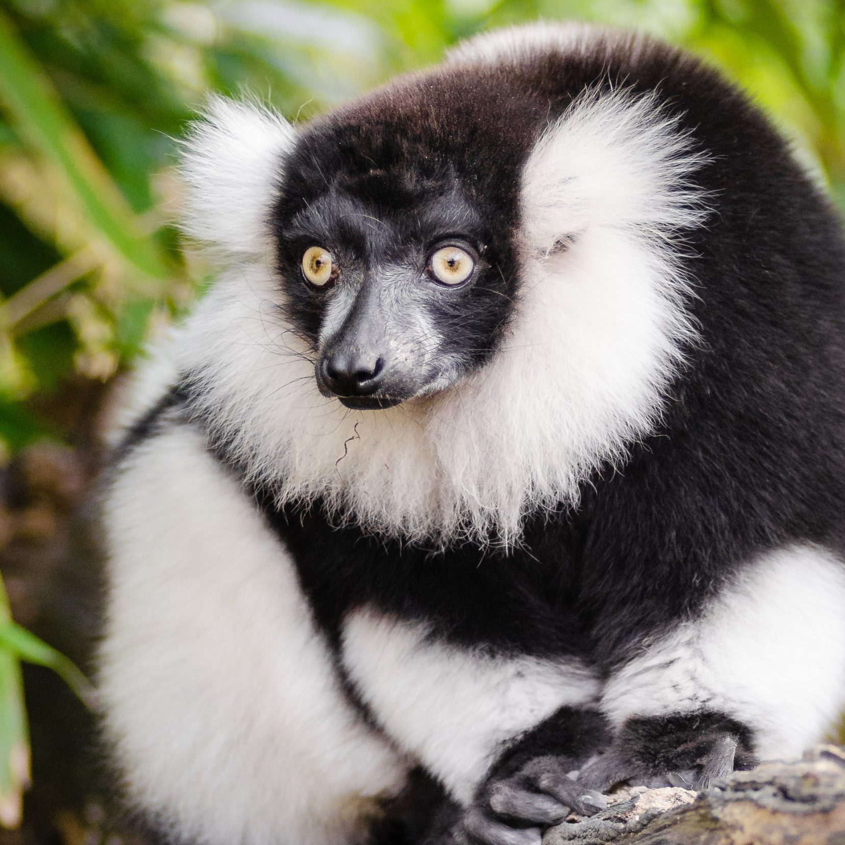 Black_and_white_ruffed_lemur_of_the_genus_Varecia